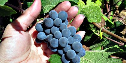 Marvila -Bairro lisboeta vai produzir o próprio vinho